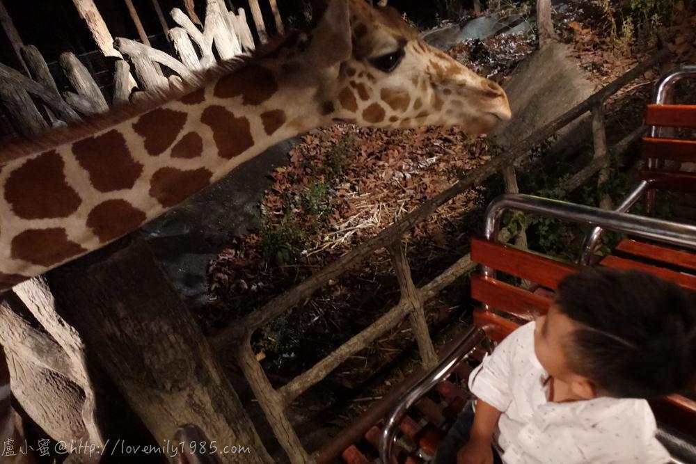 【泰國。清邁】超親近動物的親子自由行 Day5-3 清邁夜間動物園Chiang Mai Night Safari(下),搭乘遊園車看野生動物→再逛Night Bazaar